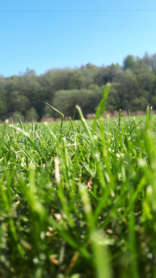 close up of the turf growning at Lymefield